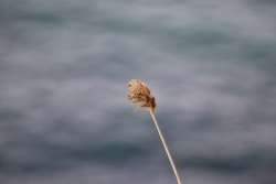 Reeds Sway On Wind .Wild Grass Sway From Wind Against The Sky.Grass Blowing. single reed. calm nature. copy space