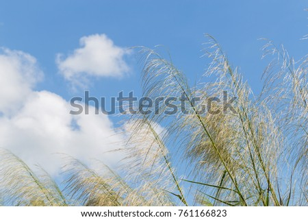 Reeds waving in the winds Bright blue sky.(The Red grass. The Giant reed.The Great reed.) #761166823