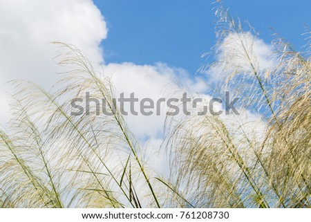 Reeds waving in the winds Bright blue sky.(The Red grass. The Giant reed.The Great reed.) #761208730