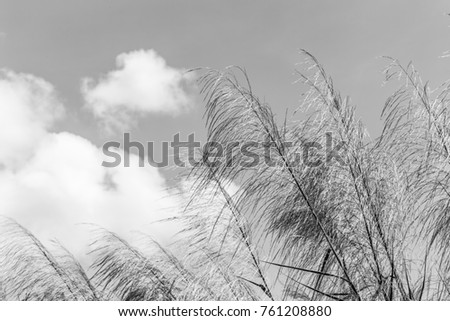 Reeds waving in the winds white and black.(The Red grass. The Giant reed.The Great reed.) #761208880