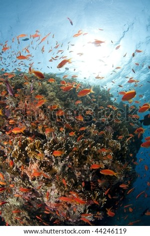 Reef and school of red fish, red Sea, south Sinai, Egypt