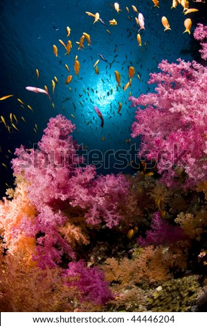 Reef and soft coral, red Sea, south Sinai, Egypt