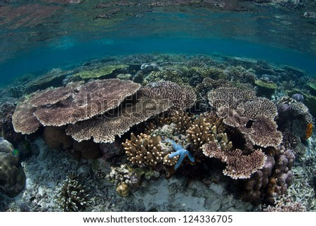 Reef-building corals, mainly Acropora species, grow on a shallow reef flat in the western Pacific where they can capture plenty of sunlight for their symbiotic zooxanthellae.
