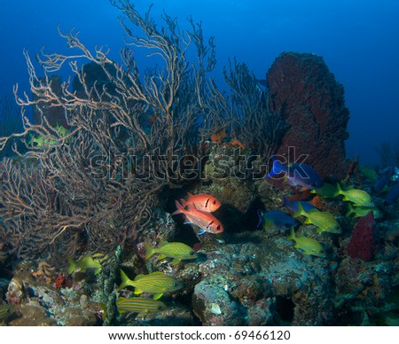 Reef Composition with Blackbar Soldier Fish, French Grunts, and Creole Wrasse.