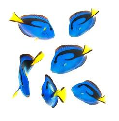 reef fish, blue tang