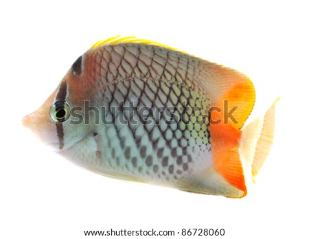 reef fish, butterfly fish isolated on white background