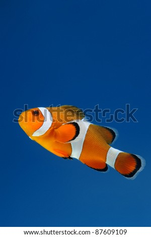 reef fish, clown fish on blue background