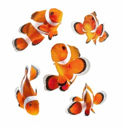 reef fish , clown fish or anemone fish isolated on white background