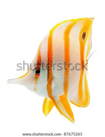 reef fish, marine fish, beak coralfish, copperband butterflyfish, isolated on white