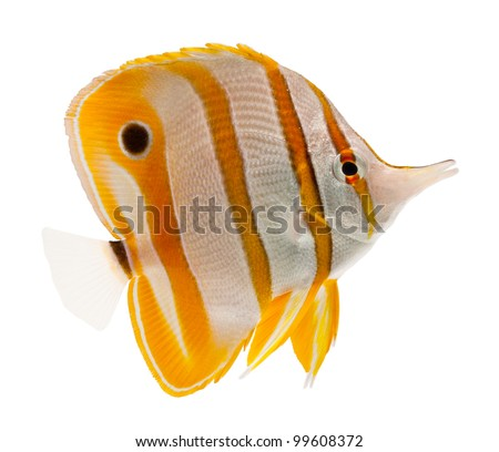 reef fish, marine fish, beak coralfish, copperband butterflyfish, isolated on white