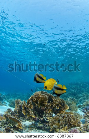 Reef fish on coral