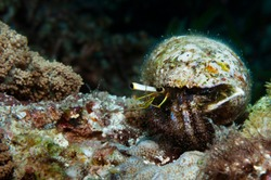Reef hermit crab with a shabby shell on his back crawling on a coral, Panglao, Philippines