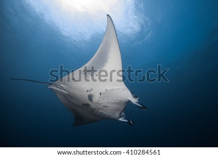 Reef manta ray, Manta birostris, on a cleaning station  #410284561