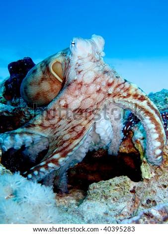 Reef Octopus(Octopus cyaneus).