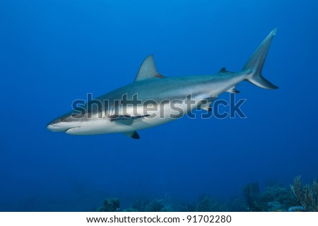 Reef Shark (Carcharhinus perezii) hunting over a tropical coral reef off the island of Roatan, Honduras.