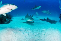 Reef Sharks and blue water