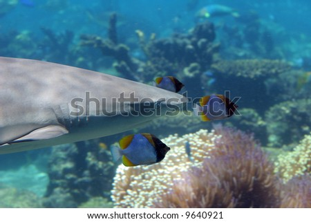 Reef Sharks (Carcharhinus melanopterus) swimming over tropical coral reef, escorted by butterfly fish.