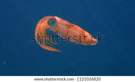 reef squid in ocean