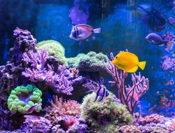 Reef tank, marine aquarium. Blue aquarium full of fishes and plants. Tank filled with water for keeping live underwater animals. Gorgonaria, Clavularia. Zoanthus. Zebra apogon. Zebrasoma. Percula.