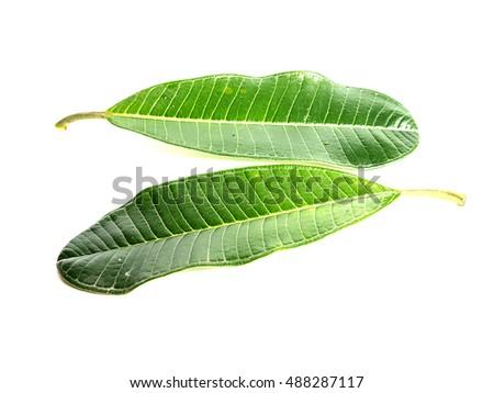 reen leaf on a white - Shutterstock ID 488287117