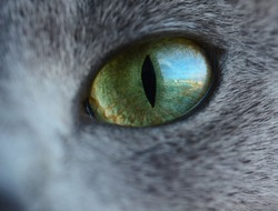 Reflection of a city street and buildings from the window in cat's eye like us as in fish eye lens. Green eye of russian blue cat.