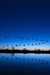 Reflection of Canadian geese flying over wildlife refuge on a blue evening, San Joaquin Valley, California