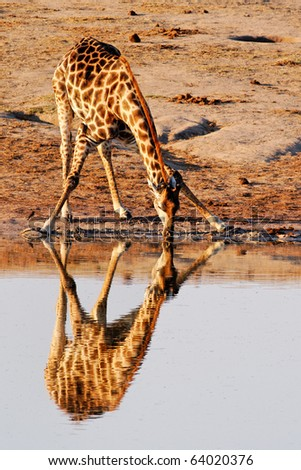 Reflection of Giraffe (Giraffa cameloparadalis) drinking at Nyamandlovu Pan, Hwange, Zimbabwe