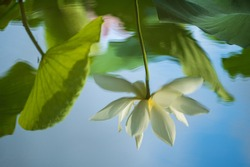 reflection of lotus and leaf in the water