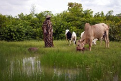 Reflection Of Sheperd And Cow At An African Water Place During The Rainy Season