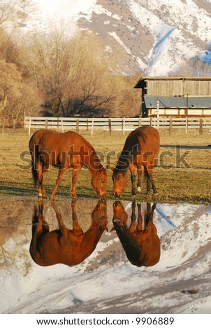 Reflection of two horses grazing