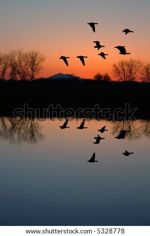 Reflection of Winter Evening Geese Flying over Wildlife Pond, San Joaquin Delta, California Flyway