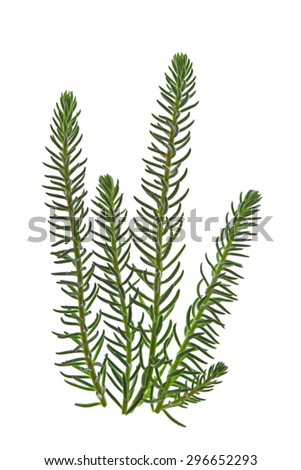 Reflexed stonecrop (Sedum reflexum, syn. Sedum rupestre) isolated against a white background #296652293