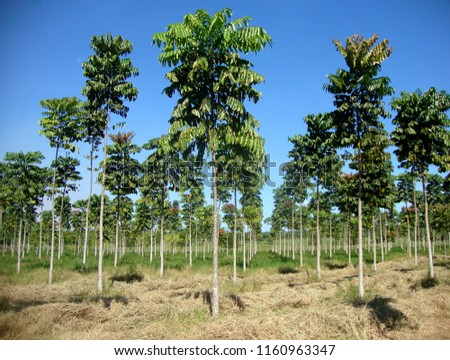 reforestation in the Amazon region with the fast growing species Parica (Shizolobium amazonicum) in a consortium (agroforestry system) with hay production