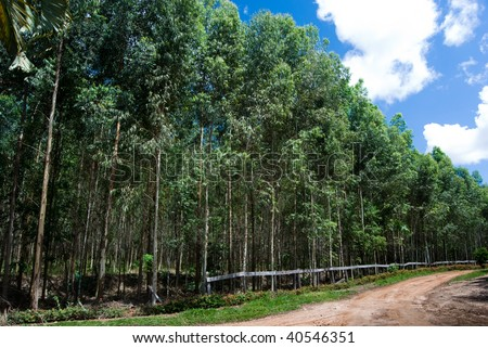 Reforestation of eucalyptus for production of coal in the south of Brazil. Eucalyptus spp. - Myrtaceae.