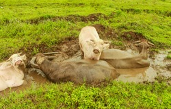 Refreshment of a group of water buffalo enjoy swimming in a mud swamp in nature.