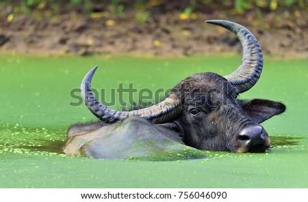Refreshment of Water buffalo.  Male water buffalo bathing in the pond in Sri Lanka. The Sri Lanka wild water buffalo (Bubalus arnee migona),
