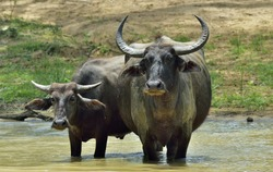 Refreshment of Water buffalos.  Female and  calf of water buffalo bathing in the pond in Sri Lanka. The Sri Lanka wild water buffalo (Bubalus arnee migona),