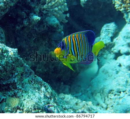 Regal angel fish in the natural environment of the Red Sea coral reef