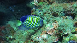 Regal Angelfish at the liberty wreck in Tulamben, Bali. Pygoplites Diacanthus in profile against a coral reef background. Regal Angelfish, swimming over coral reef. Also known as Royal Angelfish.