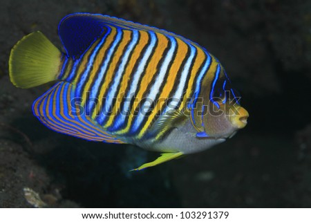 Regal angelfish in tropical waters