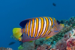 Regal angelfish or royal angelfish (Pygoplites diacanthus) Bali, Indonesia