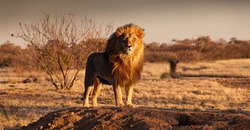 Regal-looking lion standing on a small hill