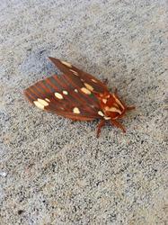 Regal moth (Citheronia regalis) closeup.