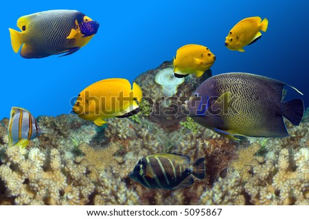Regal Spotted Angelfish (Pomacanthus xanthometapon), Beaked Coralfish (Chelmon rostratus), Three-spot Angelfish (Apolemichthys trimaculatus) swimming over coral reef.