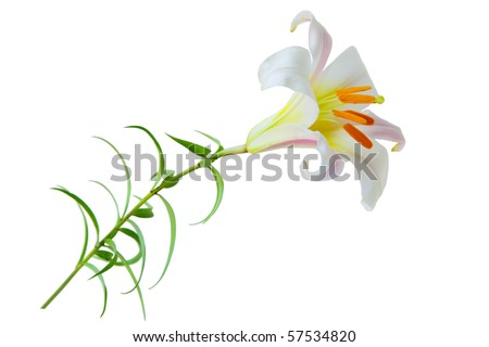 Regale Trumpet Lily Lilium flower isolated on white