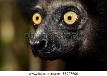 Regard jaune du lémurien Indri indri ou Babakoto, Madagascar