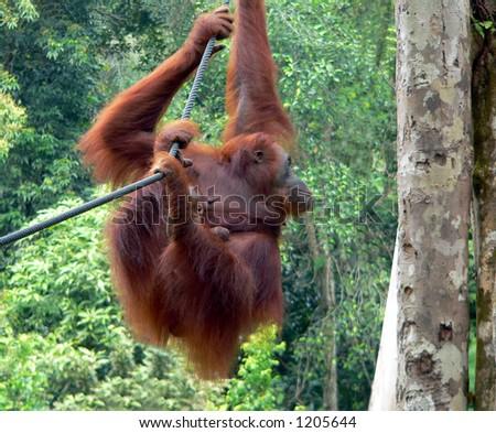 Rehabilitated Orangutans, Borneo   (Mother & Baby) - stock photo