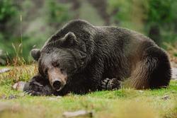 Rehabilitation center for brown bears. Sleeping Alaskan brown bear. A brown bear sleeps in the Synevyr nature reserve in rainy weather. Ukraine.