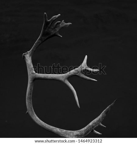 Reindeer Antlers photographed in front of a gray mountain, giving a natural background #1464923312