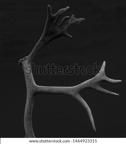 Reindeer Antlers photographed in front of a gray mountain, giving a natural background #1464923315